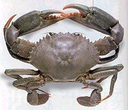 mud crab image from www.oceanexports.com.au